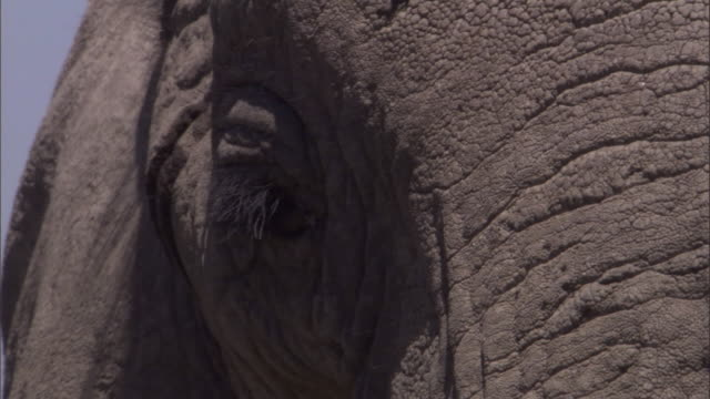An elephant slowly moves its head. Available in HD.