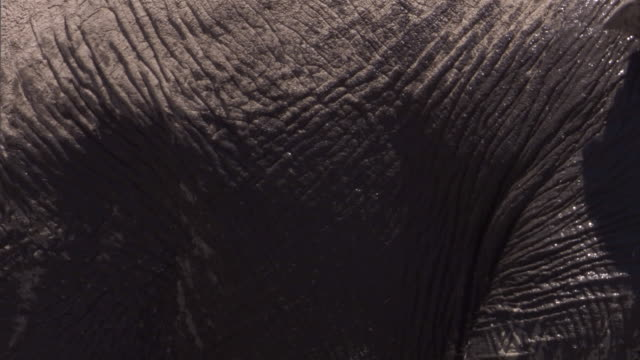 an elephant splashes itself with mud. available in hd. - wrinkled stock videos & royalty-free footage