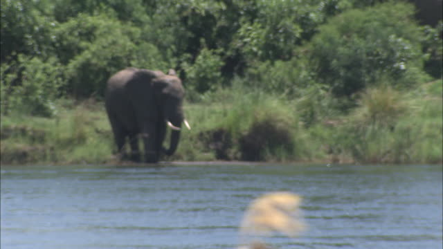 an elephant stands on a riverbank. - walking in water stock videos & royalty-free footage