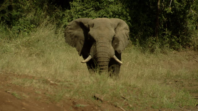 An elephant uses its trunk to splash muddy water onto its head at a waterhole in Africa.