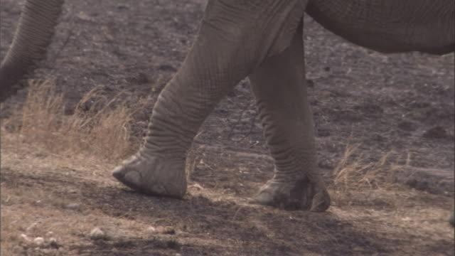 vídeos y material grabado en eventos de stock de an elephant walks along burnt ground. available in hd. - nariz de animal