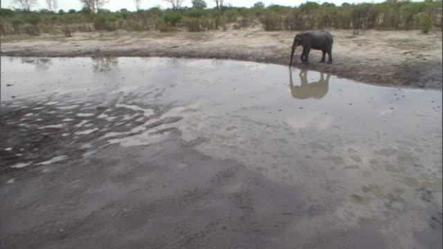 vídeos y material grabado en eventos de stock de an elephant walks around a watering hole and stops for a drink. available in hd. - nariz de animal