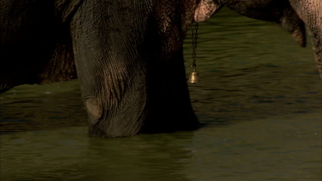 An elephant with a bell on its neck wades through a lake in Jaipur, India. Available in HD