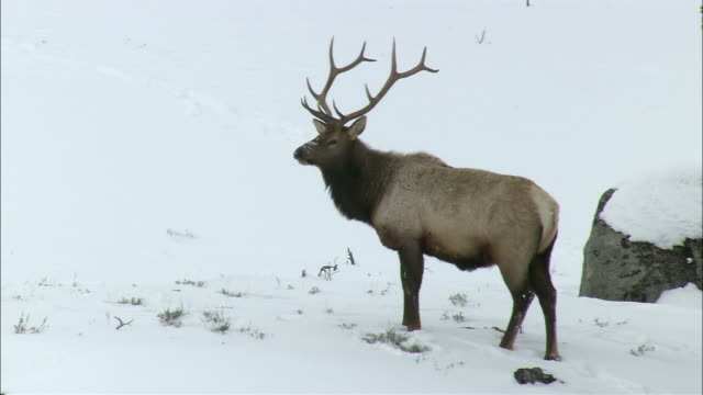 an elk stands in a snowy field. - hirsch stock-videos und b-roll-filmmaterial