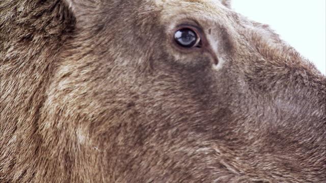 vídeos de stock e filmes b-roll de an elk sweden. - olhar de lado
