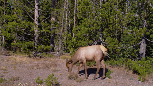 an elk walks by, stops to graze, then continues to walk past trees in yellowstone national park. - wapiti stock videos & royalty-free footage