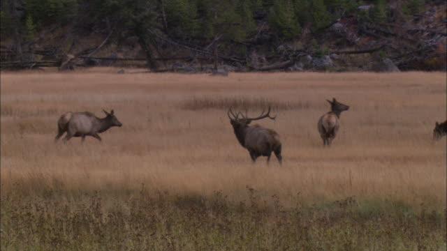an elk walks in a grassy field amid a herd. - グランドティトン国立公園点の映像素材/bロール