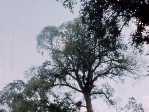 an elm tree infected with dutch elm disease is pulled down to try and stop the infection spreading to other trees - diseased plant stock videos and b-roll footage