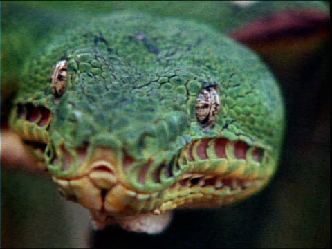 an emerald boa stares into the camera. - reptile stock videos & royalty-free footage