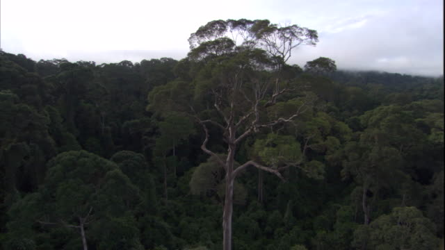 an emergent tree towers over the rest of the rainforest. available in hd. - malaysia stock videos & royalty-free footage
