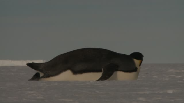an emperor penguin chick waddles past an adult penguin lying on its stomach in the snow. available in hd. - reclining stock videos and b-roll footage