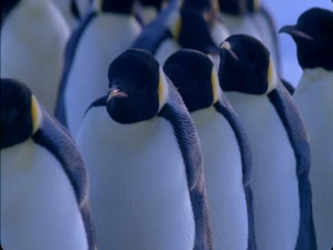 An emperor penguin colony shuffles across ice in Antarctica.