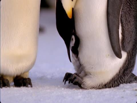 an emperor penguin feeds its chick. - flightless bird stock videos & royalty-free footage