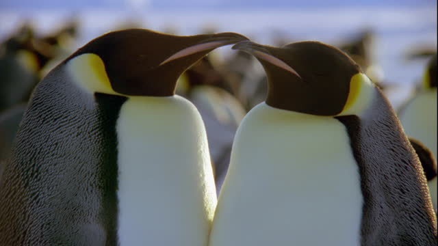 An Emperor Penguin pair touch beaks at a breeding colony in Antarctica.