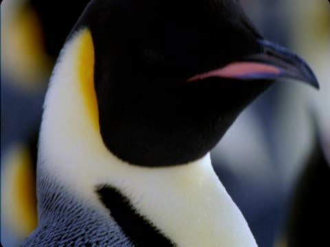 an emperor penguin preens. - flightless bird stock videos & royalty-free footage