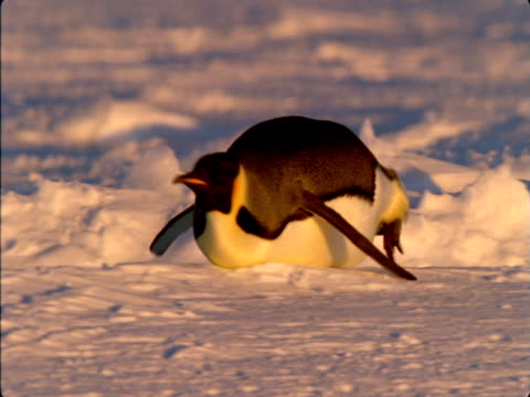 an emperor penguin toboggans towards the coast of antarctica. - sledge stock videos & royalty-free footage