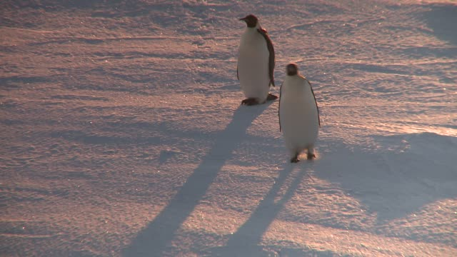 an emperor penguin waddles away from its mate. available in hd. - penguin stock videos & royalty-free footage