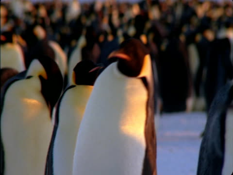 an emperor penguin wanders through a colony in antarctica. - penguin stock videos & royalty-free footage