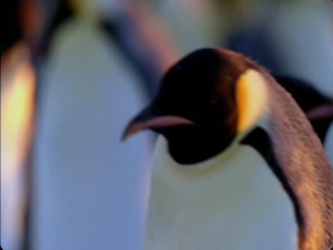 vidéos et rushes de an emperor penguin wanders through its colony in antarctica. - colony