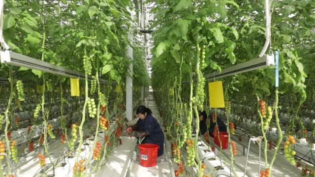 An employee harvests tomatoes from vines inside a greenhouse at the hightech indoor Cofco Wisdom Farm operated by Cofco Corp on the outskirts of...