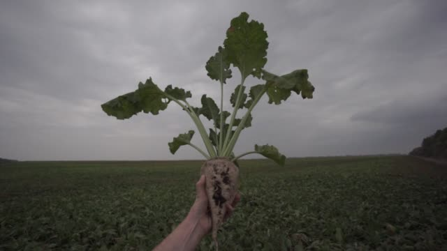 an employee holds a sliced sugar beet in a field near the edf man ltd refinery in nikolaev ukraine on friday sept 22 2017 - beet stock videos & royalty-free footage