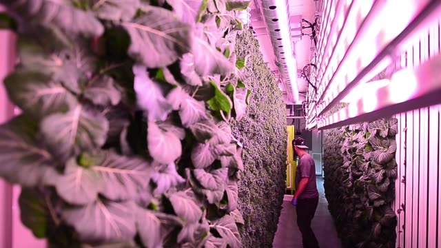 an employee inspects a vertically growing wall of kale and greens in the interior of a modular farm at the modular farms co headquarters in brampton... - kale stock videos and b-roll footage
