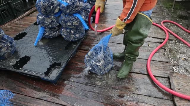 vídeos de stock, filmes e b-roll de an employee of the drakes bay oyster co. rinses oyster bags before putting them aside for transport. drakes bay oyster co. workers sort freshly... - invertebrado