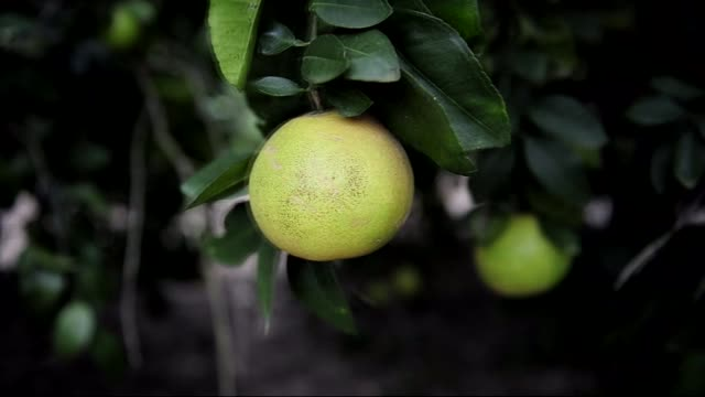 An employee picks grapefruit off of trees at the Sweet Scarletts Grapefruit Facility in Mission Texas on November 12th 2015 Shots Close up shots of a...