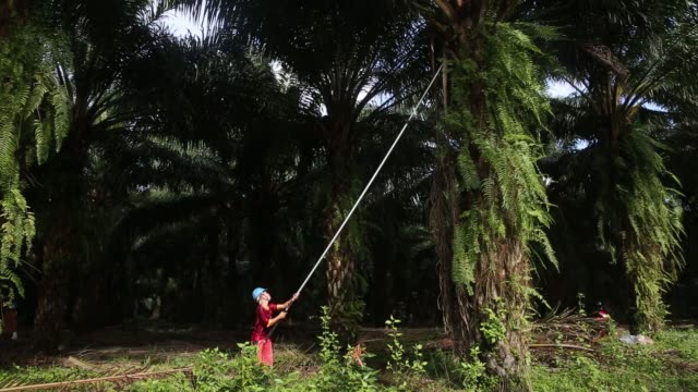An employee prunes an oil palm tree at the Mong Reththy Investment Cambodia Oil Palm Co oil palm plantation a joint venture between Mong Reththy...