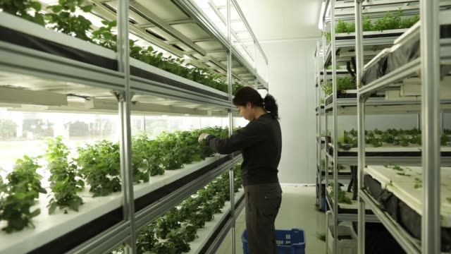 An employee prunes plants in a vertical farming facility at the hightech indoor Cofco Wisdom Farm operated by Cofco Corp on the outskirts of Beijing...