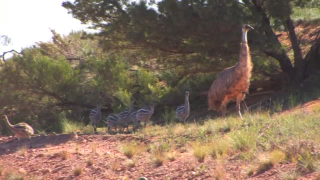 an emu family in new south wales, australia - emu stock videos & royalty-free footage