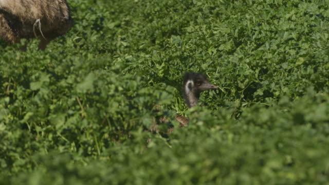 vídeos y material grabado en eventos de stock de an emu hiding in the bushes - pata de animal pierna