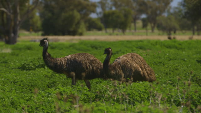 an emu looking at it's surroundings - emu stock videos & royalty-free footage
