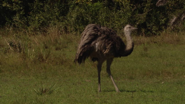 an emu runs in a circle, then struts across a meadow. - emu stock videos & royalty-free footage