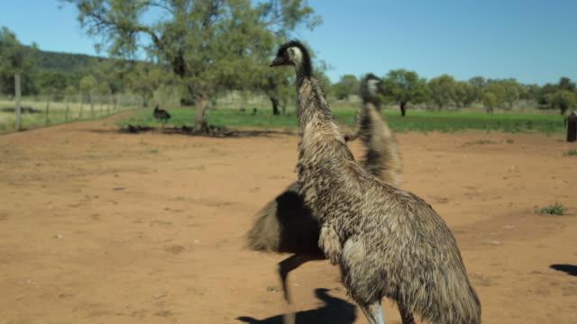 an emu walking towards a mob of emus - emu stock videos & royalty-free footage