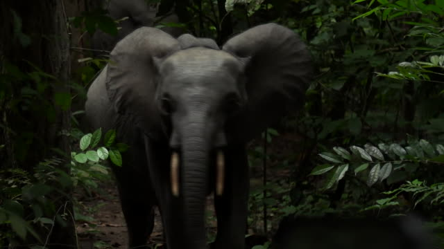 An endangered Forest Elephant in Gabon