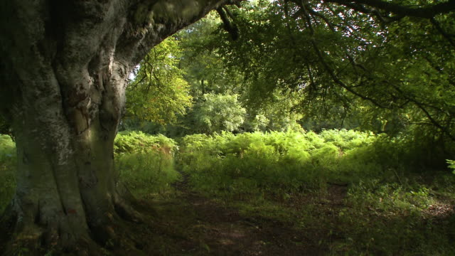 an enormous tree by a clearing in the woods - picnic stock videos & royalty-free footage