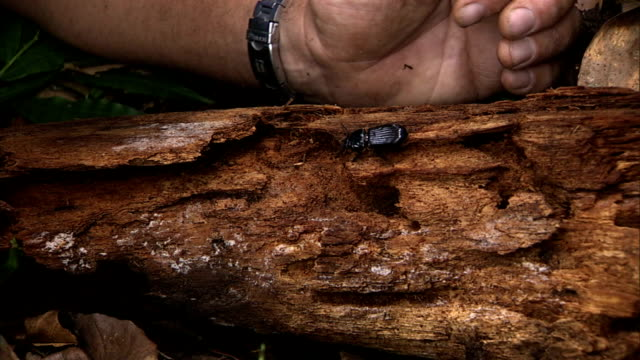 an entomologist guides a paselid beetle into a crevice on a rotten log. - crevice stock videos & royalty-free footage