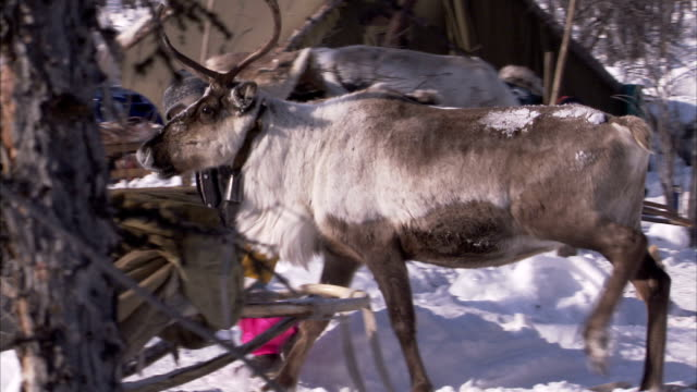 an evenki child leads a reindeer through a camp. available in hd - nutztier oder haustier stock-videos und b-roll-filmmaterial