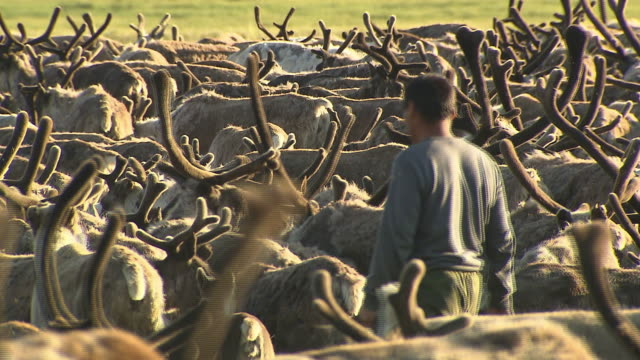 An Eveny herder walks through a herd of reindeer in Siberia.