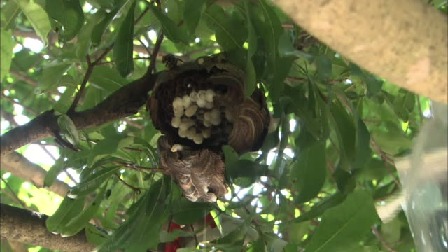 An exterminator removes a wasps' nest from a branch and prunes a small branch.