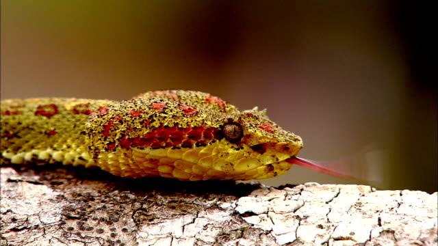 an eyelash pit viper moves slowly along a log in costa rica. - scaly stock videos & royalty-free footage