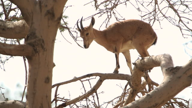 an ibex climbs on a tree limb and eats leaves from the tree. - mammal stock videos & royalty-free footage