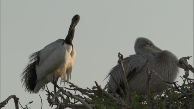 an ibis preens itself while perched in a tree beside a pelican. available in hd. - pelican stock videos & royalty-free footage