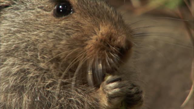 vídeos de stock, filmes e b-roll de an ice rat nibbles. available in hd - bigode de animal