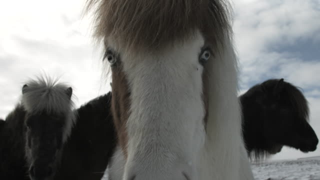 An Icelandic horse stares at the camera.