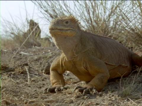 vídeos y material grabado en eventos de stock de an iguana bobs its head up and down. - iguana de los galápagos