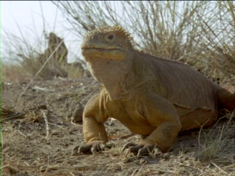 an iguana bobs its head up and down. - ガラパゴスリクイグアナ点の映像素材/bロール