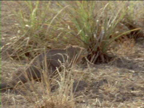 vídeos y material grabado en eventos de stock de an iguana chases a rival through scrub grass. - iguana de los galápagos