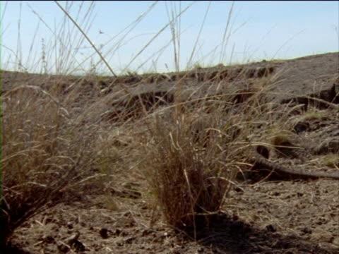 vídeos y material grabado en eventos de stock de an iguana chases another iguana through dry grasses. - iguana de los galápagos